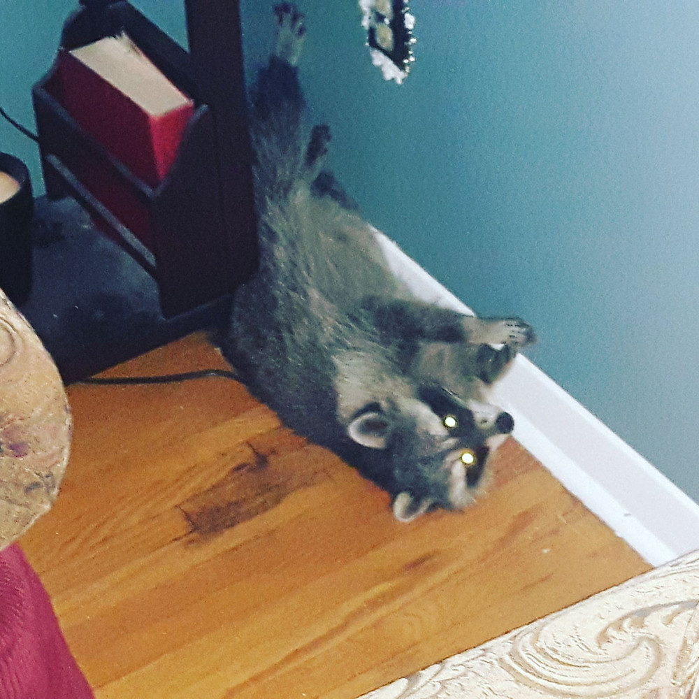 Raccoon Inside House