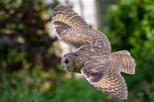 Long Eared Eagle Owl