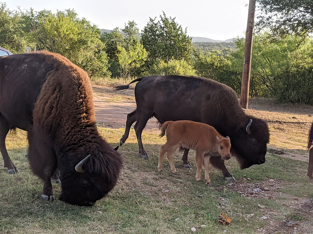 Small group of bison with a baby bison