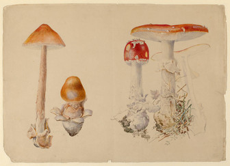 Fungi illustrated by Beatrix Potter