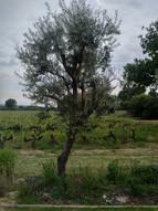 Olive tree is formidable!