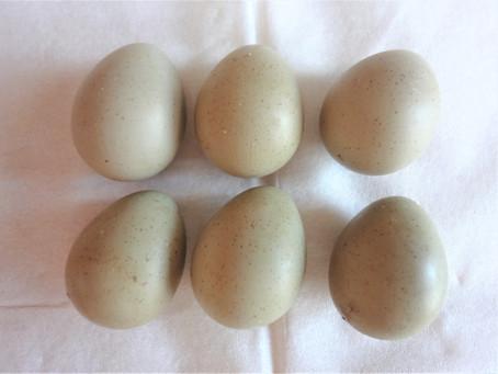 8月に孵化したヒメウズラが卵を産み始めました。