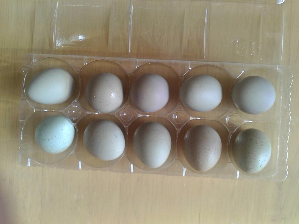 ヒメウズラの卵たち