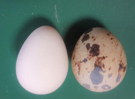 コリンウズラの卵の栄養成分