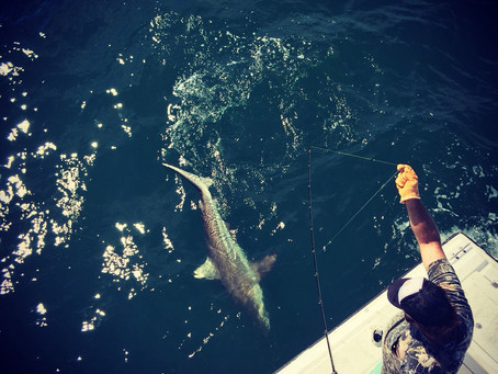 Big Spanish,  great puppy drum action, and big blactip sharks!