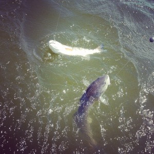 Catching Double Header Redfish off the Outer Banks of North Carolina