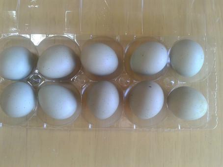ヒメウズラの卵の色と孵化について