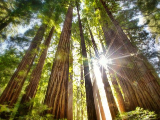 Working Together Like Redwood Trees?