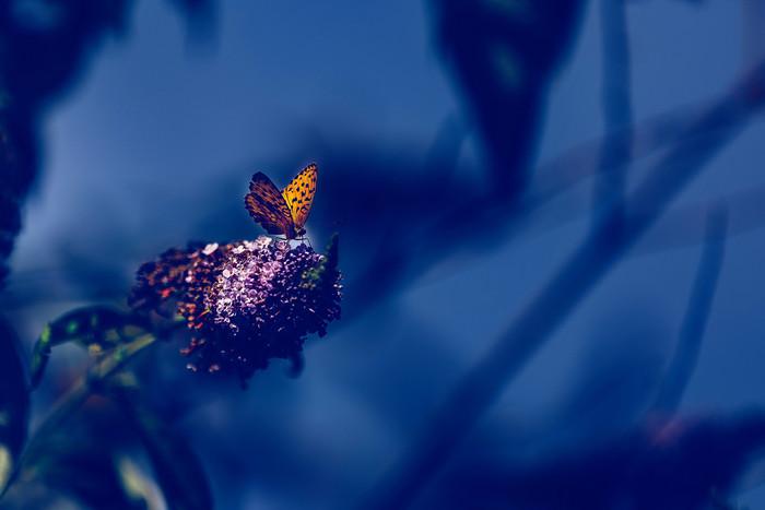 papillon2-2852.jpg