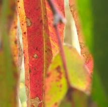 transparencia de eucaliptus