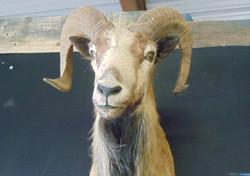 Gem Bok mounted head