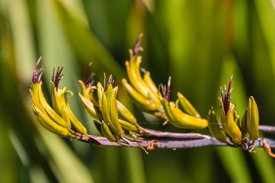 Phormium colensoi - New Zealand mountain flax flowers.jpg