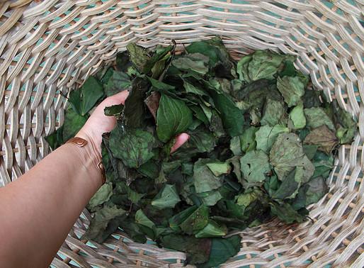How To Make Kawakawa Tea