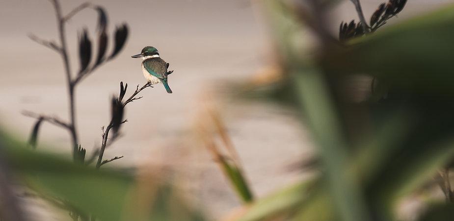 Kingfisher at Great Barrier Island.jpg