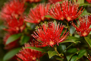 Flowers of New Zealand Southern Rata brighten the day for visitors to the Otira Gorge in A