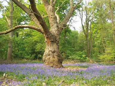 ashcommon woods.jpg