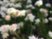 shank esthetics logo (flowers).jpeg