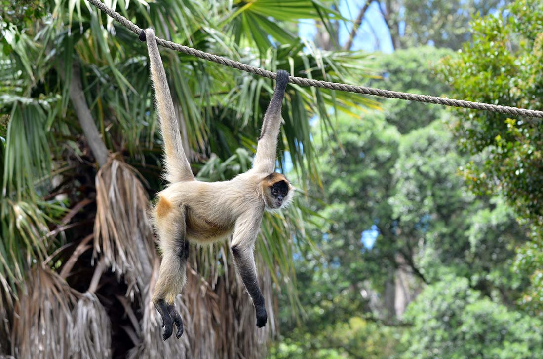 White Spider Monkey