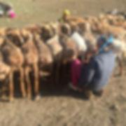 Milking_sheep,_Deluun,_Bayan_Ölgii,_far