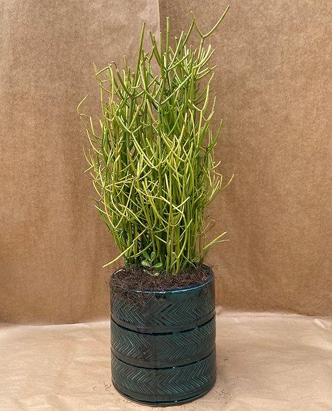 Euphorbia tirucalli  & Vaso decorativo