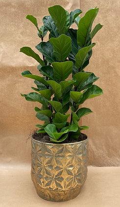 Fícus Lyrata & Vaso decorativo