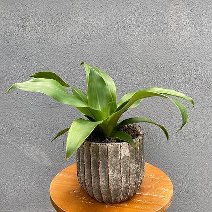 Dracena Fragrans & Vaso Decorativo