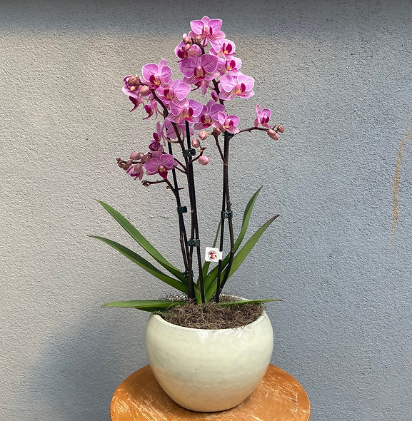 Mini Orquídea & Vaso Decorativo