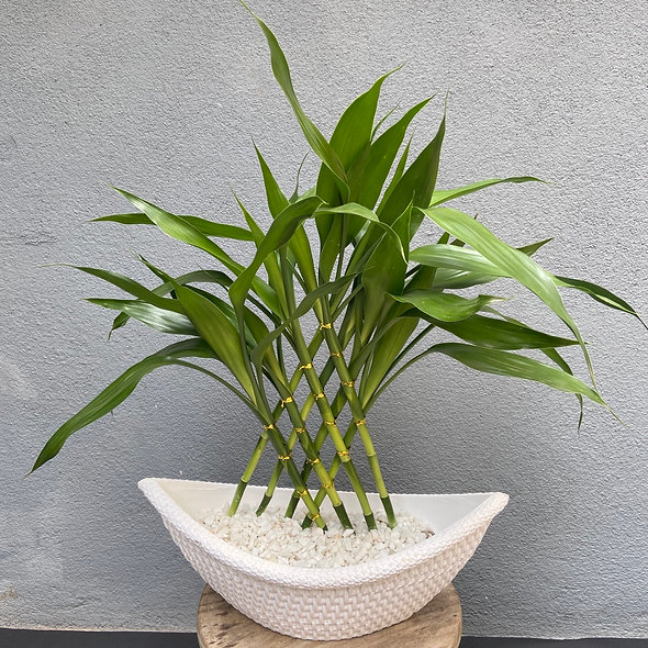 Bambu da Sorte (Dracena Sanderiana)