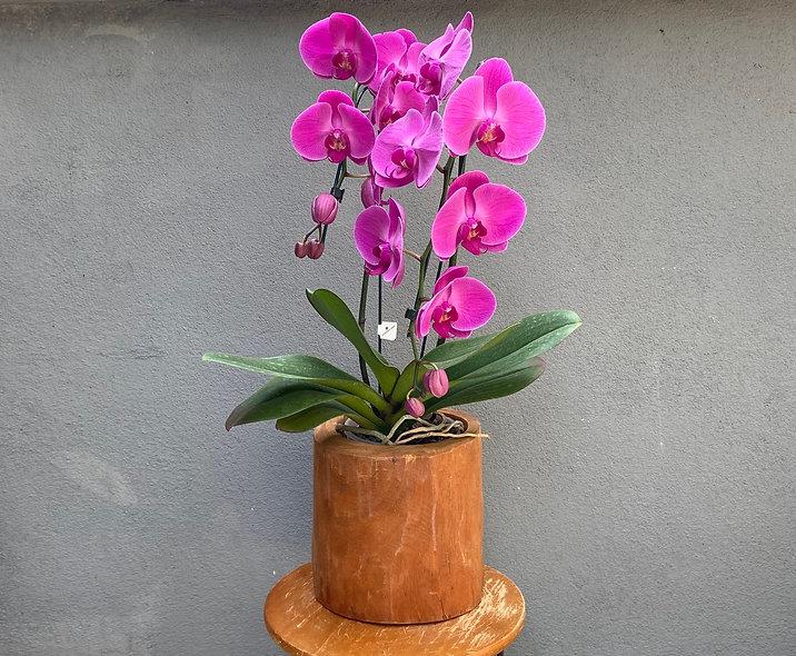 Orquídea Phalaenopsis & Vaso Decorativo