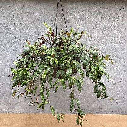 Columeia Marmorata vaso 1/2 vertical