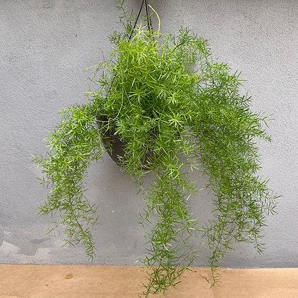 Aspargo Alfinete vaso 1/2 vertical
