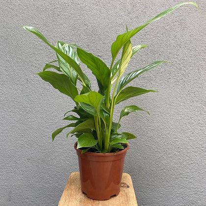 Lírio da Paz (Spathiphyllum)