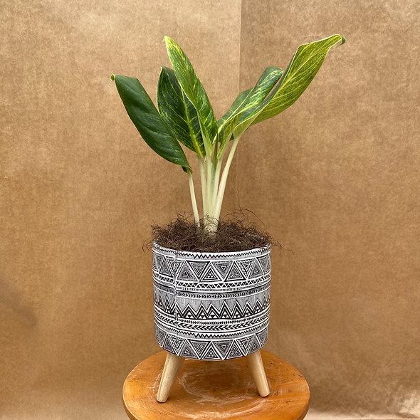 Aglaonema Queen & Vaso Decorativo