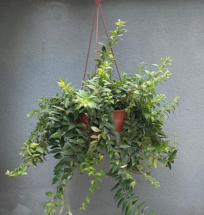Columeia Batom