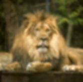 Lion1_edited.jpg