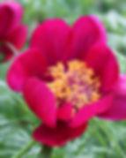 paeonia tenuifolia3.jpg