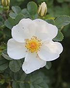 rosa pimpinellifolia var altaica13.jpg
