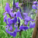 iris typhifolia16.jpg
