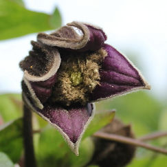 clematis fusca var violacea14.jpg