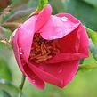 rosa moyesii highdownensis6.jpg