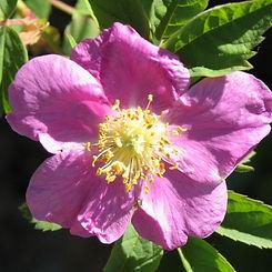 rosa villosa4.jpg
