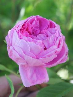 centifolia10.jpg