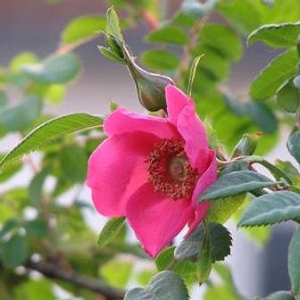 rosa moyesii highdownensis5.JPG