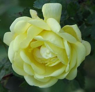rosa hugonis flore pleno8.jpg