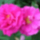officinalis10.jpg