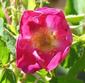 rosa pendulina lina5.jpg