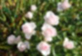 aspirin rose13.jpg