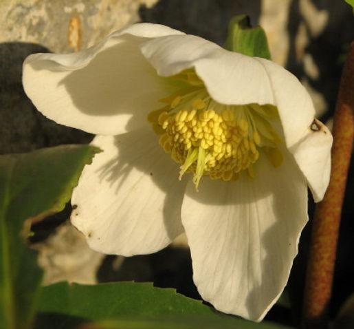 hvit julerose i blomst1.JPG