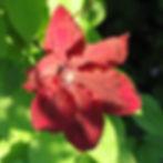 rouge cardinal5.JPG