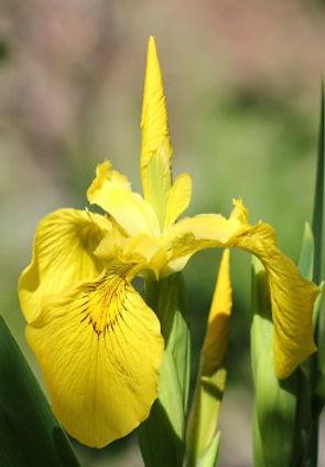 iris pseudacorus12.jpg